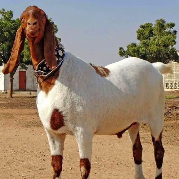 Biggest Qurbani Animals In Gujrat Gujrat Classified